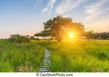 Tree at sunset in the hautes fagnes - A wooden trail to a...