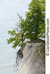 tree at the scarp of a cliff at the Baltic sea in the Jasmund national park on the island of Ruegen, Germany