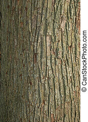 Tree bark background - Bark of a red oak tree