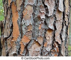 tree bark of a pine tree