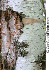 Tree bark over. Croast of the birch