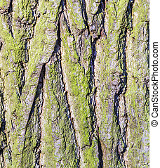Tree bark texture background (oak)