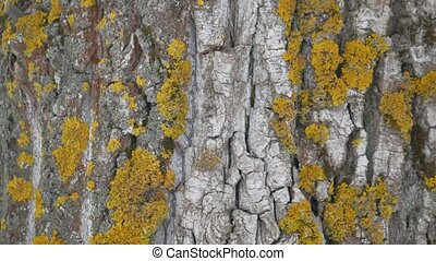 tree bark texture with yellow moss tree trunk the nature...
