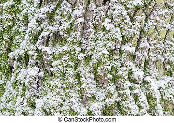 Tree bark with snow