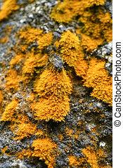 Tree bark with yellow foliose lichen