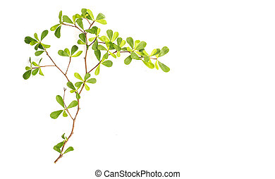 Tree branch and green leaf isolated on white background