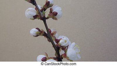 Tree Branch blooming - Close up of blossoming apricot tree