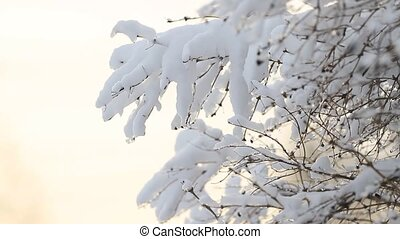 Tree branch covered with snow and sunlight