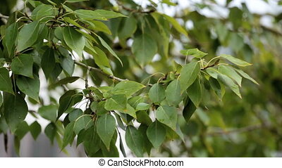 Tree branch  - Branch of a tree with green leaves