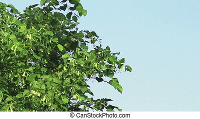 Tree branch of linden tree with young green leaves and...