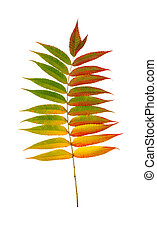 tree branch with autumn yellow, green, red leaves, isolated on white background