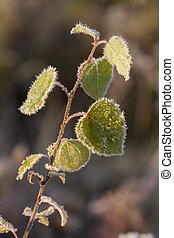 leaves in hoarfrost