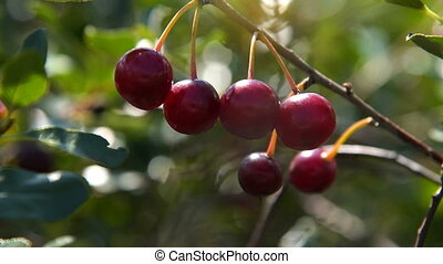 Tree branch with ripe cherries