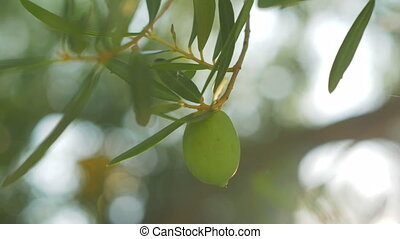 Tree branch with single green olive