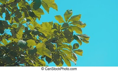 tree branches chestnut with green leaves blue sky background...
