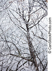 tree branches covered with frost