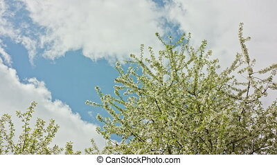 Tree Branches in Blossom - Tree branches in blossom against...