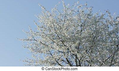 Tree Branches in Blossom - Tree branches in blossom against...