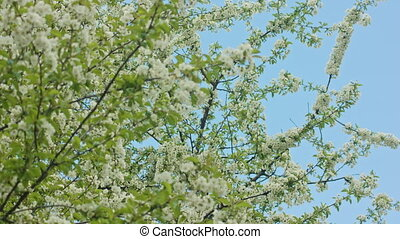 Tree Branches in Blossom