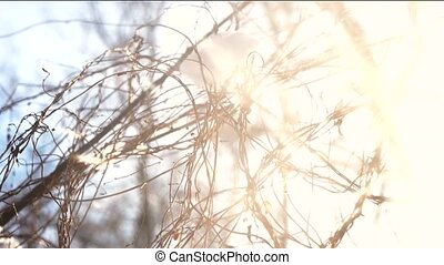 Tree branches, snow and sunlight. Winter morning, bright...
