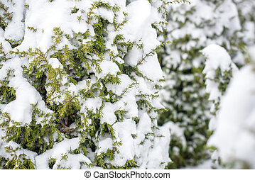 Tree branches under the snow in winter.