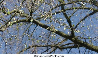 Tree Branches with Buds - Tree branches with buds against a...
