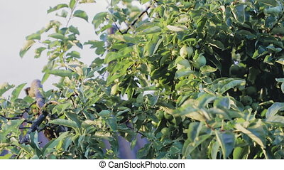 Tree branches with green apples. Close up - Tree branch with...