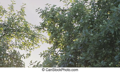Tree branches with green apples . - The sunlight plays...