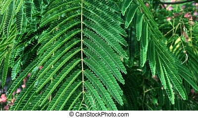 tree branches with green leaves Albizia julibrissin
