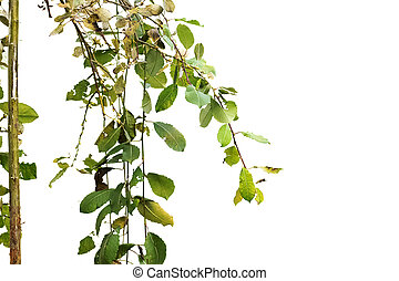 Tree branches with green leaves isolated on white background