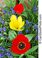 Tree bright tulips, red and yellow, between blue small flowers in garden.