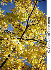 Tree Canopy Black Walnut