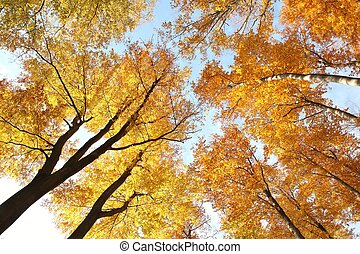 Tree canopy in autumn beech forest against the blue sky