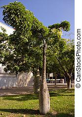 Tree Chorisia
