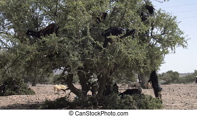 Tree climbing goats in Morocco - Herd of goats clibmed the...