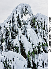 Tree Covered in Snow During Noreaster - A tree covered with...