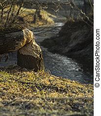 Tree cut down by a beaver