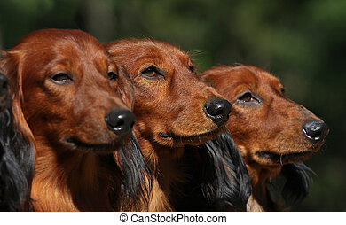 Tree daxhund dog face