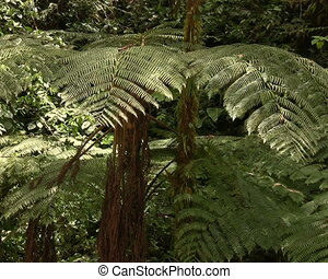 Tree ferns - In cloudforest near Mindo, Ecuador