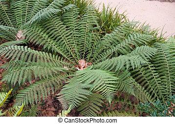 Tree-ferns in park of Regaleira, Sintra