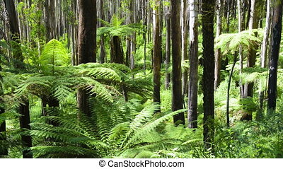Tree Ferns - Lush green ferns, tree ferns and towering...