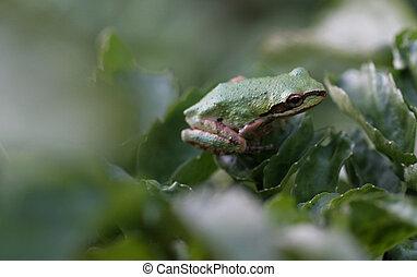 Tree frog 2 - Pacific tree frog on leaf