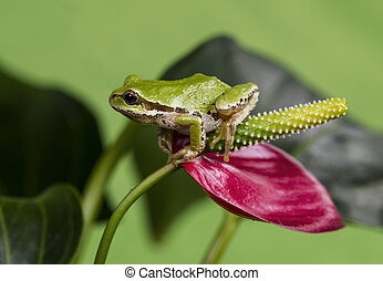Tree Frog and Red Flower - Pacific Tree Frog on red flower...