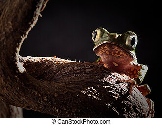 tree frog at night in amazon jungle