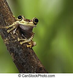 tree frog Ecuador tropical Amazon rainforest treefrog on...