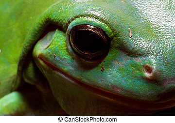 Tree frog eye