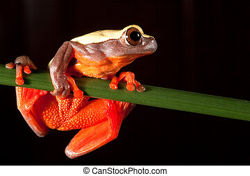 tree frog Hypsiboans triangularum at night in the Bolivian...
