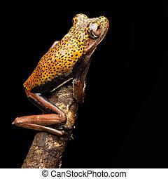 tree frog Hypsiboas geographica