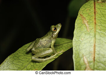 tree frog looking up - tree frog in the Bolivian rainforest...