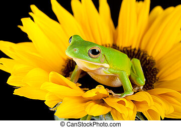 Tree frog on a sunflower - White-lipped tree frog or Litoria...